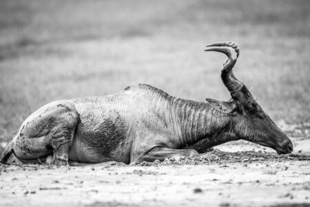 Red hartebeest playing in the mud in black and white in the Kgalagadi Transfrontier Park, South Africa. Stock Photo