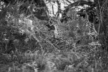 starring: Starring Cheetah in between bushes in black and white in the Kgalagadi Transfrontier Park, South Africa.