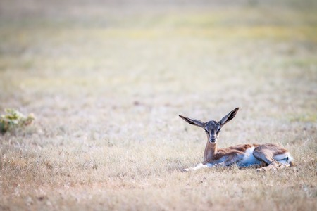 Baby Springbok laying in the grass in the Kgalagadi Transfrontier Park, South Africa.
