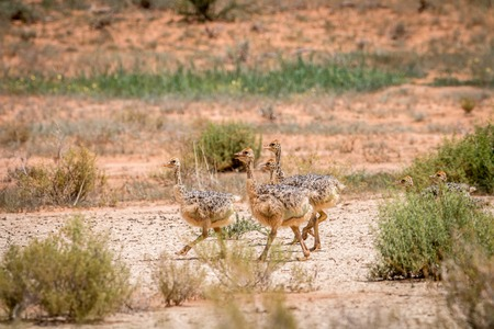 ostrich chick: Ostrich chicks walking in the sand in the Kgalagadi Transfrontier Park, South Africa.
