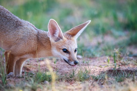 Side profile of a Cape fox in the Kgalagadi Transfrontier Park, South Africa.