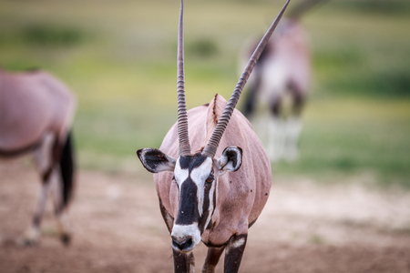 sossusvlei: Gemsbok starring at the camera in the Kgalagadi Transfrontier Park, South Africa.