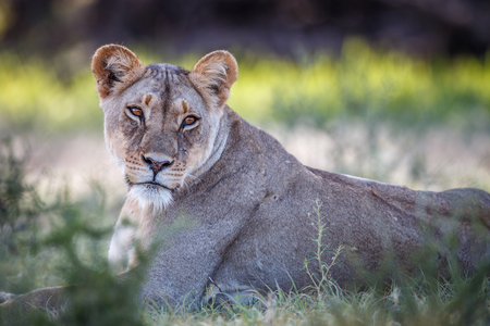 starring: Starring Lioness in the Kgalagadi Transfrontier Park, South Africa.