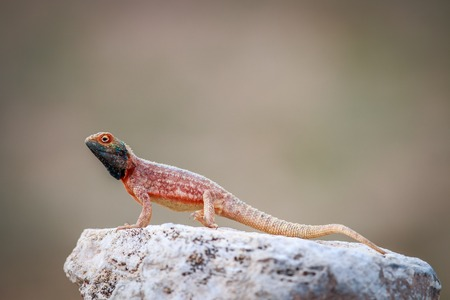 Ground agama basking on a rock in the Kgalagadi Transfrontier Park, South Africa. Stock Photo