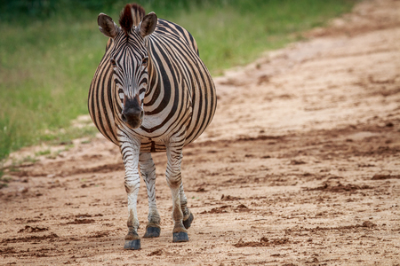 starring: Pregnant Zebra starring the camera in the Kruger National Park, South Africa. Stock Photo