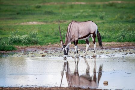 Gemsbok drinking in the Kgalagadi Transfrontier Park, South Africa.