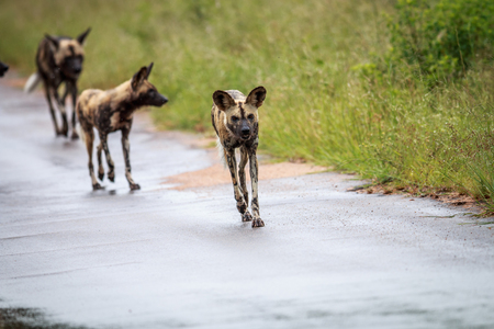 African wild dog running towards the camera in the Kruger National Park, South Africa. Stock Photo