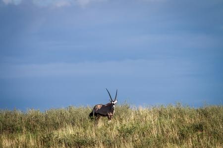 Gemsbok on a ridge in the Kgalagadi Transfrontier Park, South Africa.