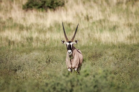 sossusvlei: Starring Gemsbok in the grass in the Kgalagadi Transfrontier Park, South Africa. Stock Photo