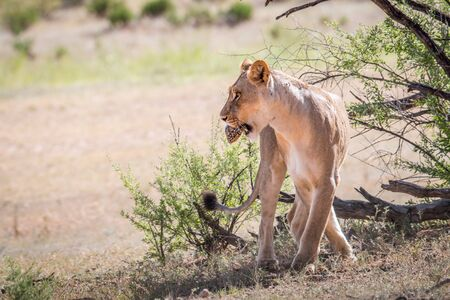 Lioness with a Leopard tortoise in her mouth in the Kgalagadi Transfrontier Park, South Africa.
