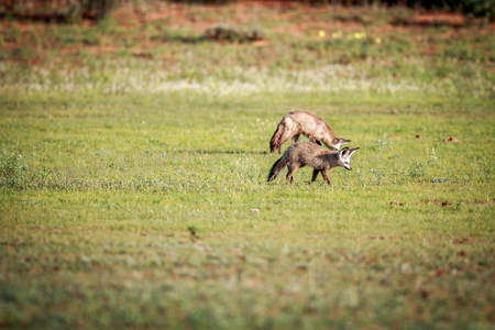 canid: Two Bat-eared foxes walking in the grass in the Kgalagadi Transfrontier Park, South Africa. Stock Photo