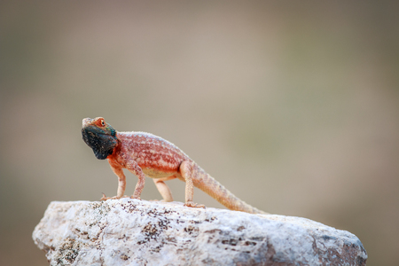 aculeata: Ground agama basking on a rock in the Kgalagadi Transfrontier Park, South Africa. Stock Photo