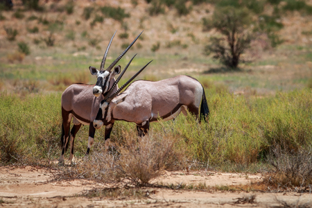 Two Gemsbok playing in the Kgalagadi Transfrontier Park, South Africa.