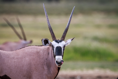 starring: Gemsbok starring at the camera in the Kgalagadi Transfrontier Park, South Africa.