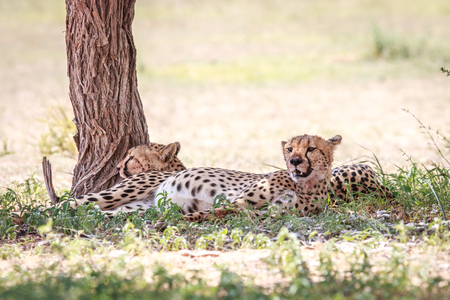 Two Cheetahs resting under a tree in the Kgalagadi Transfrontier Park.