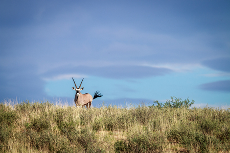 sossusvlei: Gemsbok on a ridge in the Kgalagadi Transfrontier Park, South Africa.