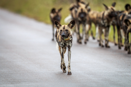 Pack of African wild dogs on the road in the Kruger National Park, South Africa.