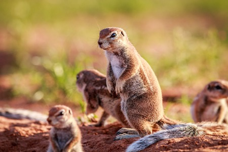 Ground squirrels in the sand in the Kgalagadi Transfrontier Park, South Africa. Stock Photo