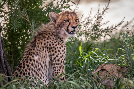 starring: Starring Cheetah in the Kgalagadi Transfrontier Park, South Africa.
