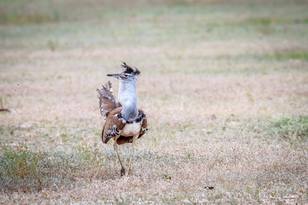 Kori bustard displaying in the grass in the Kgalagadi Transfrontier Park, South Africa.