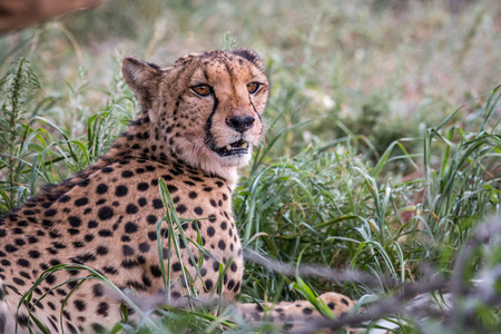 Starring Cheetah in the Kgalagadi Transfrontier Park, South Africa.