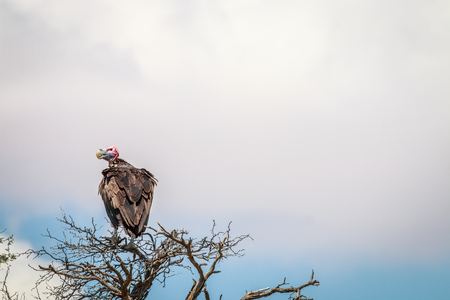 Lappet-faced vulture sitting in a tree in the Kgalagadi Transfrontier Park, South Africa.