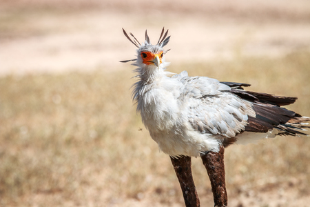 Secretary bird in the grass in the Kgalagadi Transfrontier Park, South Africa.