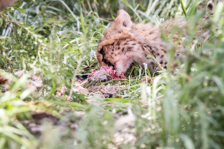 Young Cheetah eating in the Kgalagadi Transfrontier Park, South Africa. Stock Photo