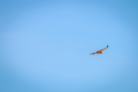 canorus: Flying juvenile Pale-chanting goshawk in the Kgalagadi Transfrontier Park, South Africa.