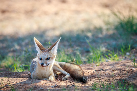 Cape fox laying in the sand in the Kgalagadi Transfrontier Park, South Africa.
