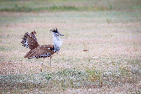 desert ecosystem: Kori bustard displaying in the grass in the Kgalagadi Transfrontier Park, South Africa.