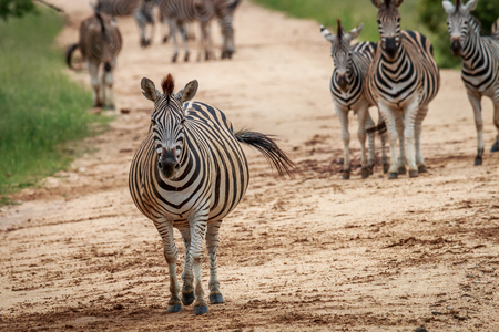 Zebras starring at the camera in the Kruger National Park, South Africa. Stock Photo