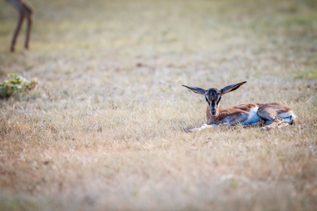 antidorcas: Baby Springbok laying in the grass in the Kgalagadi Transfrontier Park, South Africa.