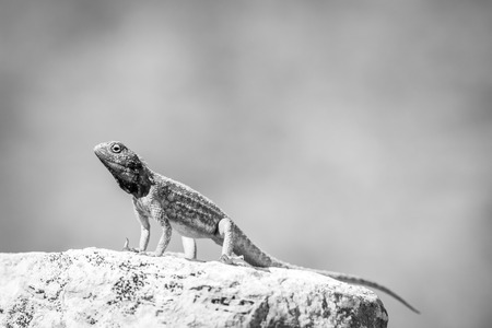 Ground agama basking on a rock in black and white in the Kgalagadi Transfrontier Park, South Africa. Stock Photo