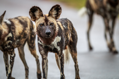 African wild dog starring at the camera in the Kruger National Park, South Africa.