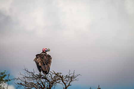 scavenging: Lappet-faced vulture sitting in a tree in the Kgalagadi Transfrontier Park, South Africa.