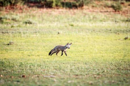 Bat-eared fox walking in the grass in the Kgalagadi Transfrontier Park, South Africa. Stock Photo