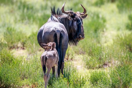 Blue wildebeest with a calf in the Kgalagadi Transfrontier Park, South Africa.