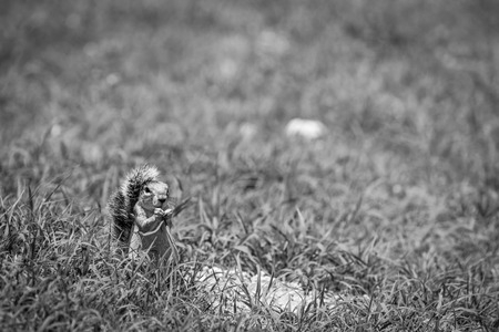 Ground squirrel eating grass in black and white in the Kgalagadi Transfrontier Park, South Africa. Stock Photo