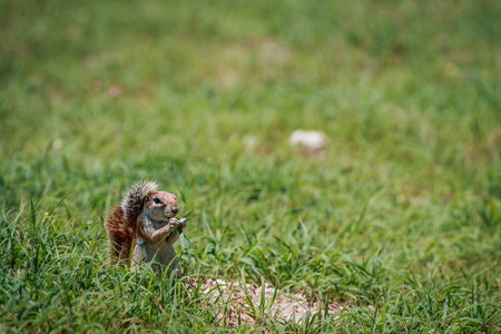Ground squirrel eating grass in the Kgalagadi Transfrontier Park, South Africa.