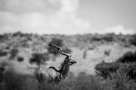 herbivores: Kudu standing in the grass in black and white in the Kgalagadi Transfrontier Park, South Africa.
