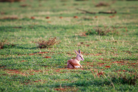 Baby Springbok laying in the grass in the Etosha National Park, Namibia.