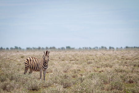 starring: Zebra starring at the camera in the Etosha National Park, Namibia. Stock Photo