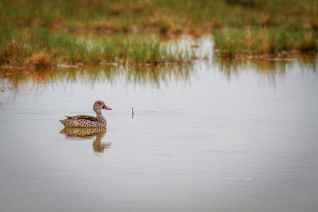Cape teal swimming in water in the Etosha National Park, Namibia. Stock Photo