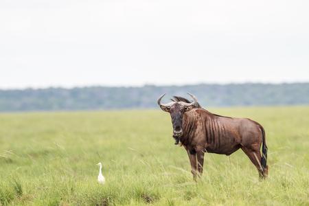 Streifengnu und Viehreiher, der an der Kamera im Nationalpark Etosha, Namibia die Hauptrolle spielt. Standard-Bild - 76749810