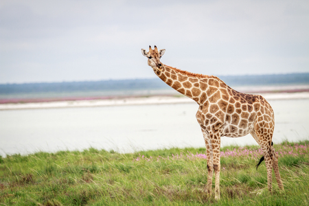 herbivores: Giraffe looking at the camera in the Etosha National Park, Namibia. Stock Photo