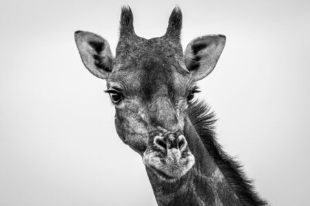 Giraffe looking at the camera in black and white in the Etosha National Park, Namibia.