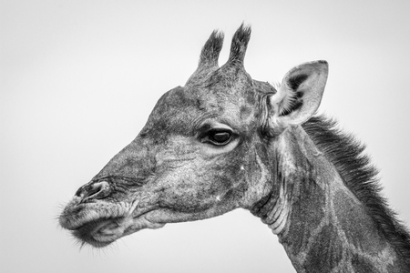 Side profile of a Giraffe in black and white in the Etosha National Park, Namibia.