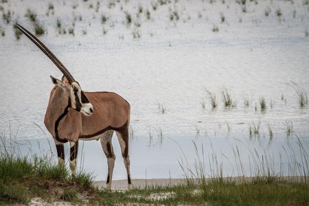 Gemsbok standing near water in the Etosha National Park, Namibia.