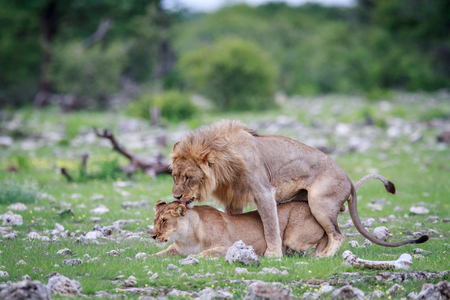 Mating Lions in the Etosha National Park, Namibia. Stock Photo